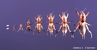 Mole crickets life cycles