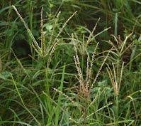 African Goose grass