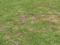 Mole cricket damage