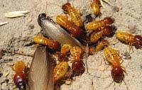 Harvester termites