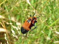 net winged beetle