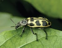 Astylus beetle