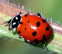 ladybird beatle